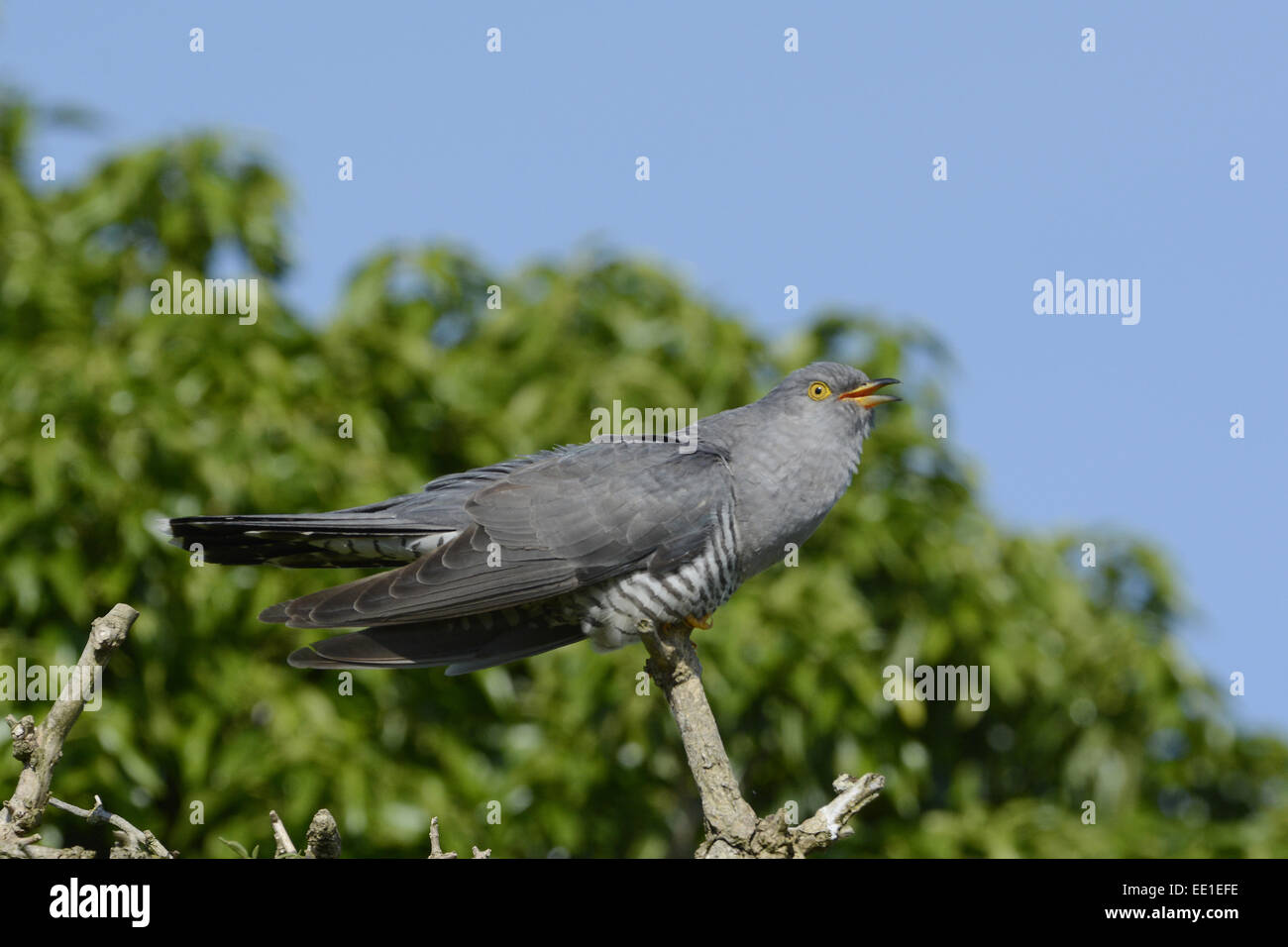 Common Cuckoo (Cuculus canorus) adult male, calling, perched on dead branch, Norfolk, England, June - Stock Image