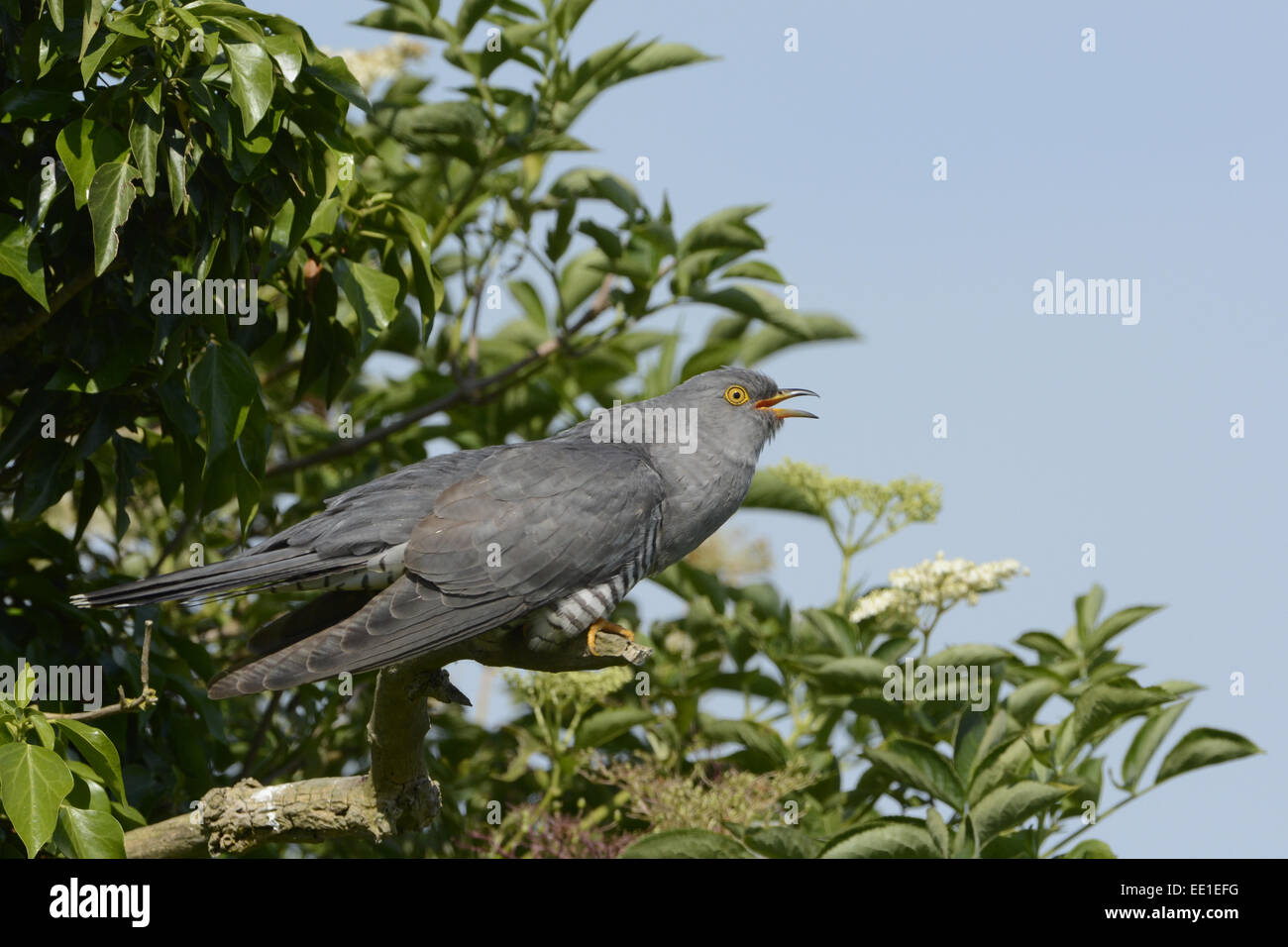 Common Cuckoo (Cuculus canorus) adult male, calling, perched on dead branch in elder bush, Norfolk, England, June - Stock Image