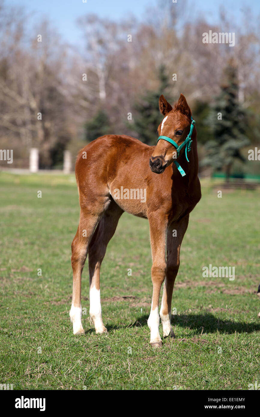 Baby Horse On Pasture Rural Scene Pretty Foal Stands In A Summer Stock Photo Alamy