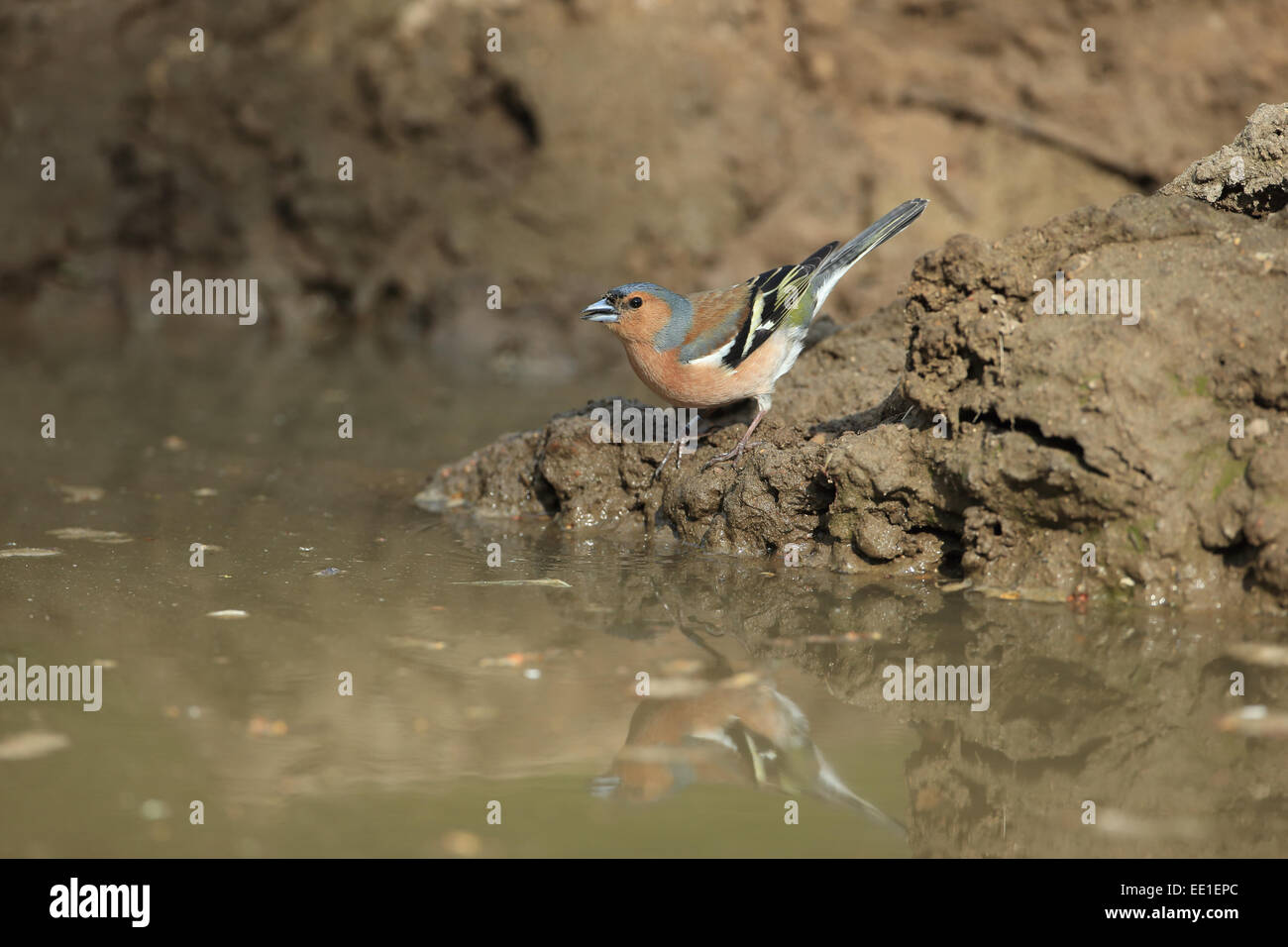 Common Chaffinch (Fringilla coelebs) adult male, drinking at puddle, Norfolk, England, April - Stock Image