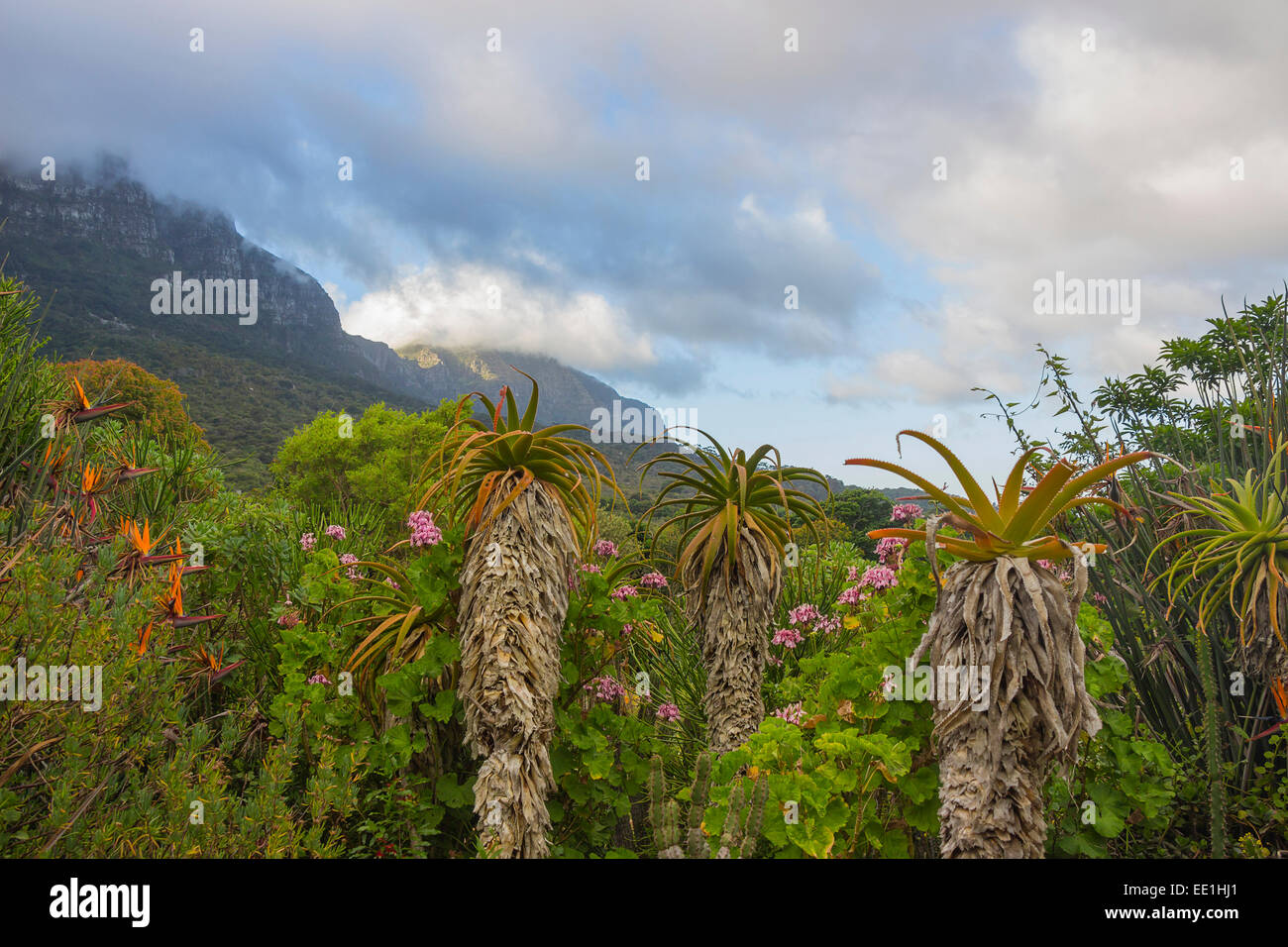 Kirstenbosch Gardens on a partly cloudy day with aloes in the foreground - Stock Image