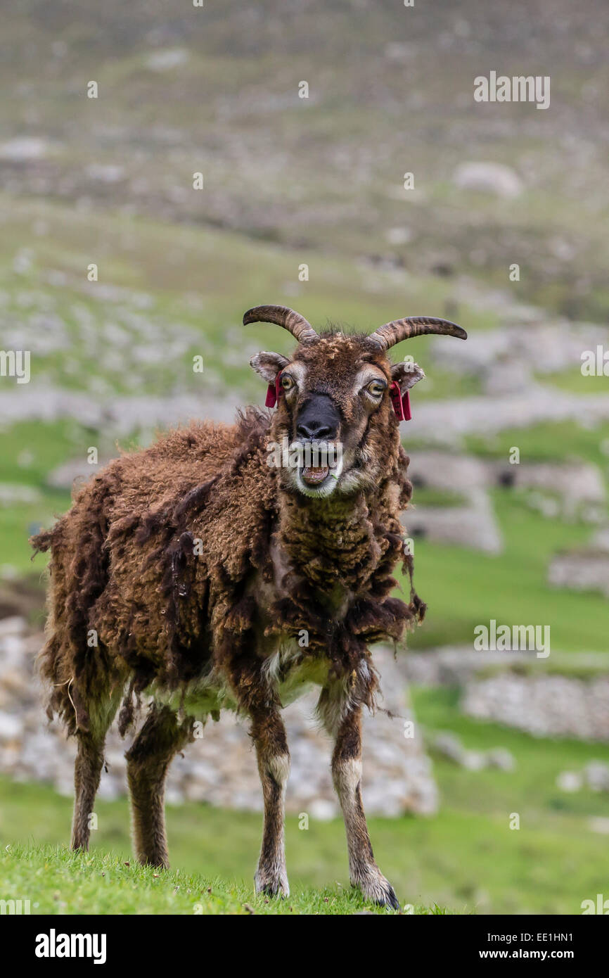 Sheep called the Soay roaming the stone remains of the evacuated village on Hirta, St. Kilda Archipelago, Scotland, Stock Photo