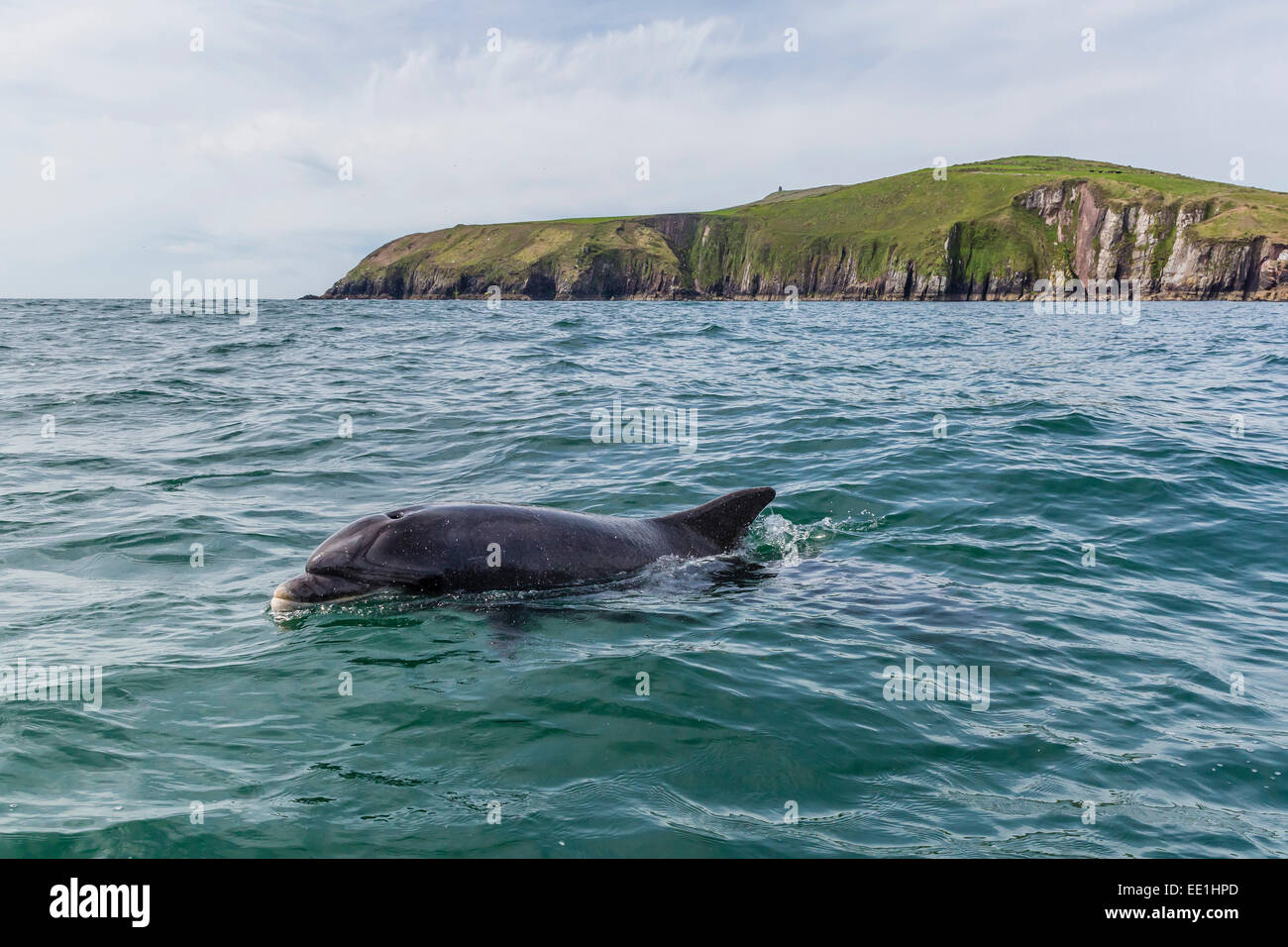 Adult bottlenose dolphin (Tursiops truncates) near the Dingle Peninsula, County Kerry, Munster, Republic of Ireland Stock Photo