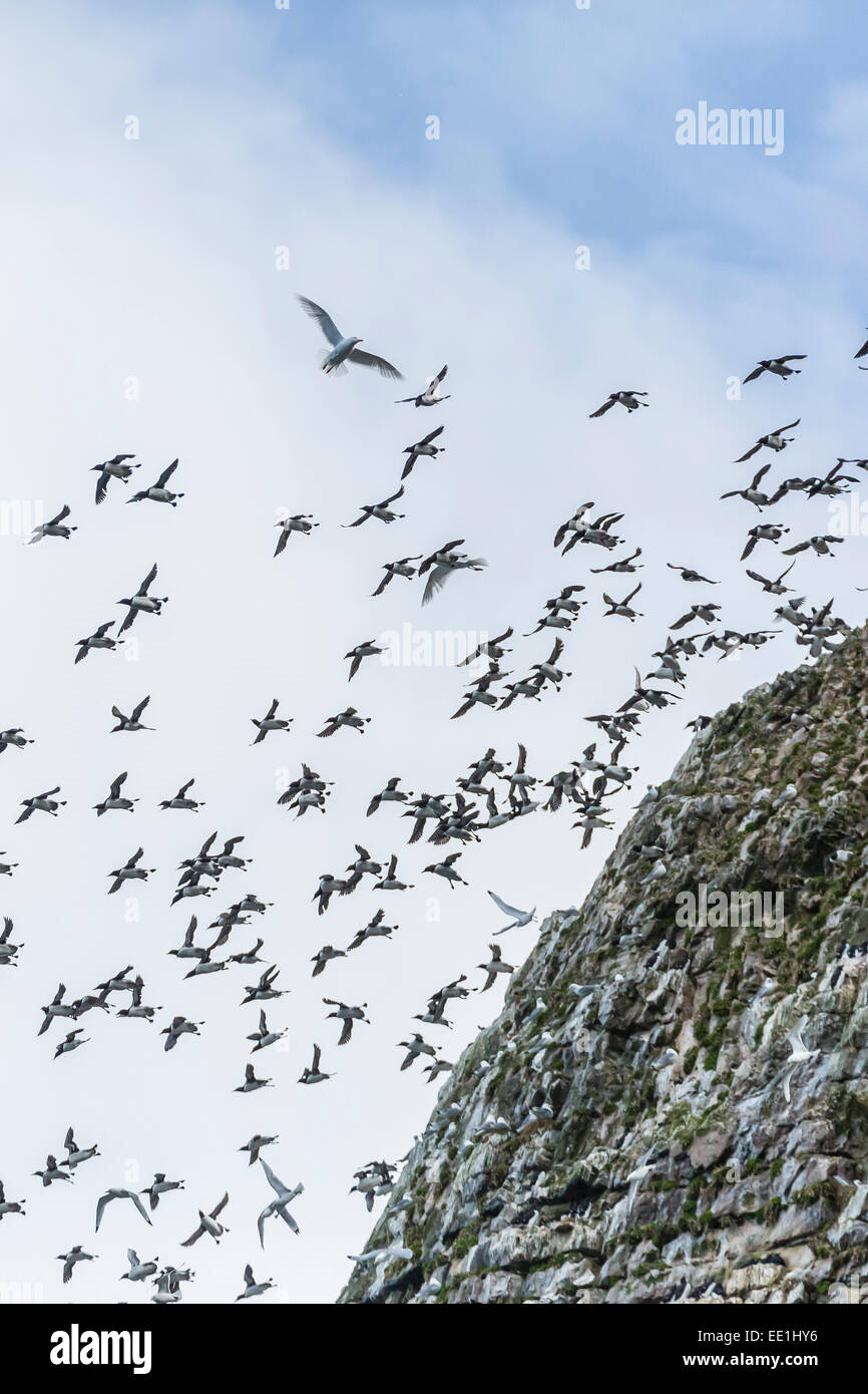 Steep cliffs filled with nesting birds on the south side of Bjornoya, Bear Island, Svalbard, Arctic, Norway, Scandinavia, - Stock Image