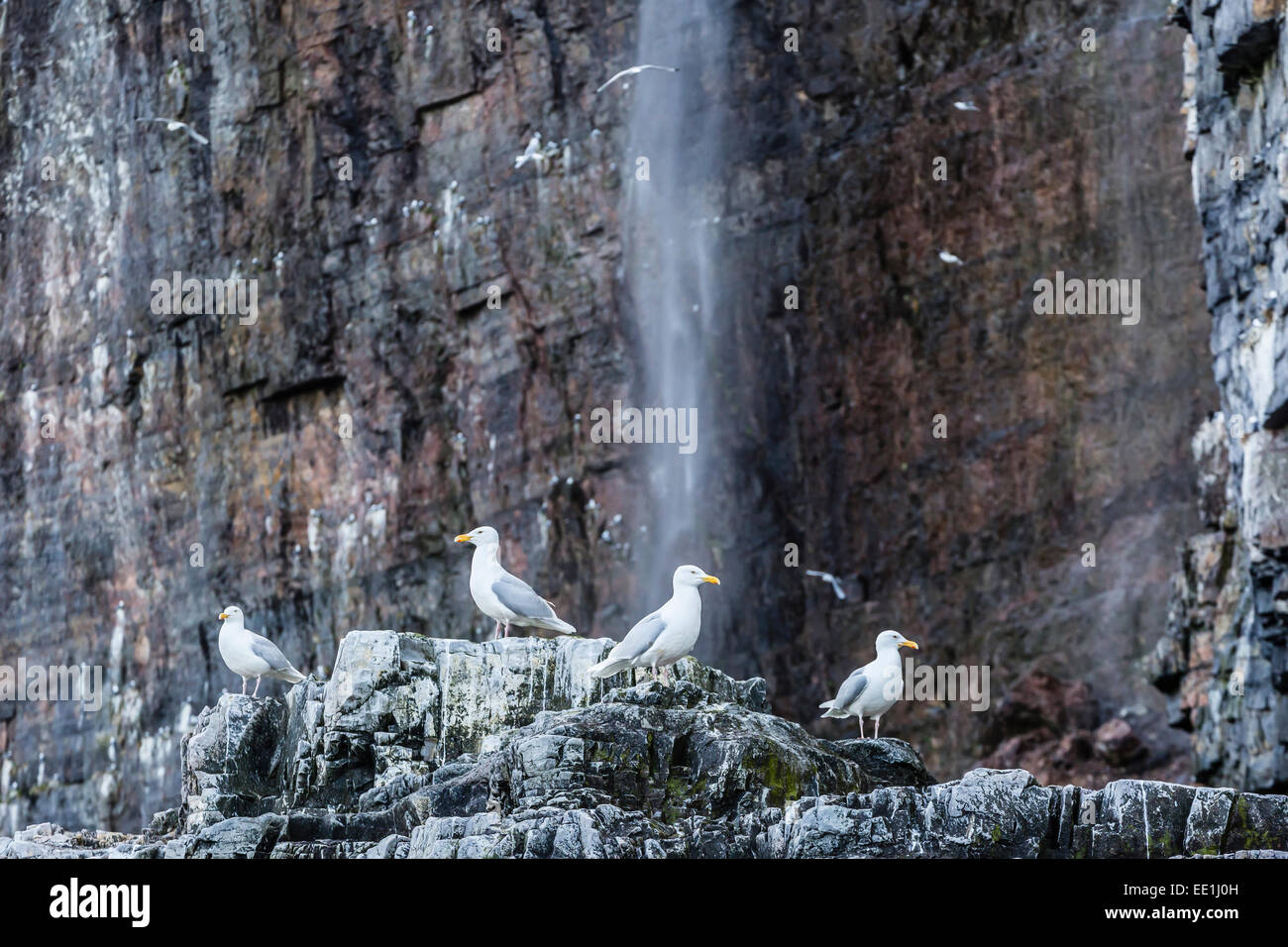 Adult glaucous gulls (Larus hyperboreus) at Bjornoya, Bear Island, Norway, Scandinavia, Europe - Stock Image