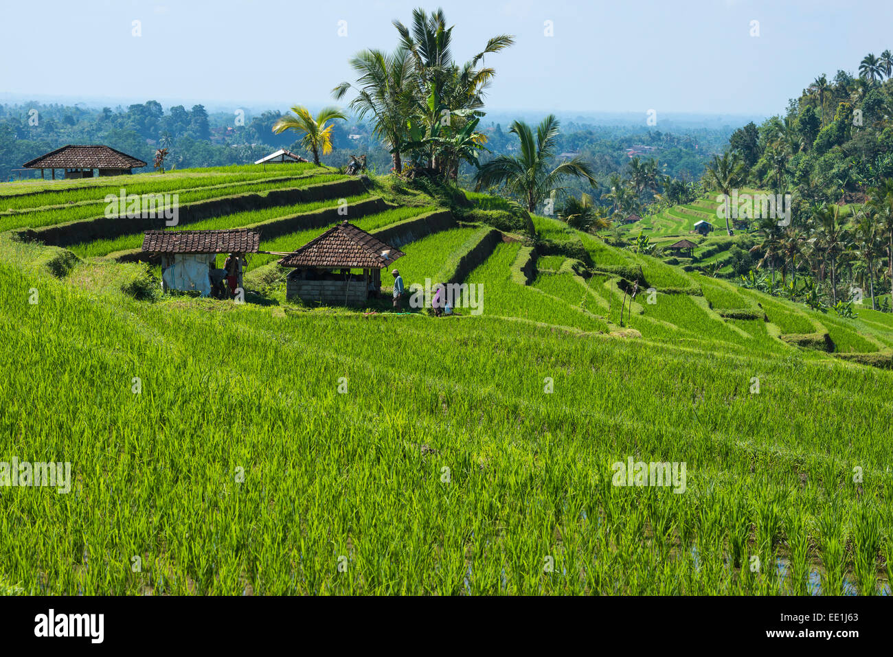 Rice terraces, Jatiluwih, UNESCO World Heritage Site, Bali, Indonesia, Southeast Asia, Asia - Stock Image