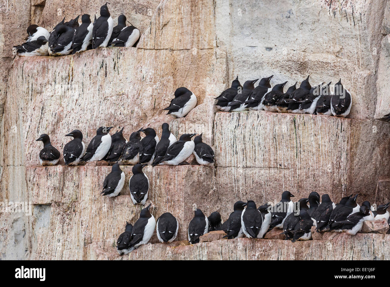Adult Brunnich's guillemots (Uria lomvia) nesting on ledges at Alkefjelet, Cape Fanshawe, Spitsbergen, Svalbard, Stock Photo