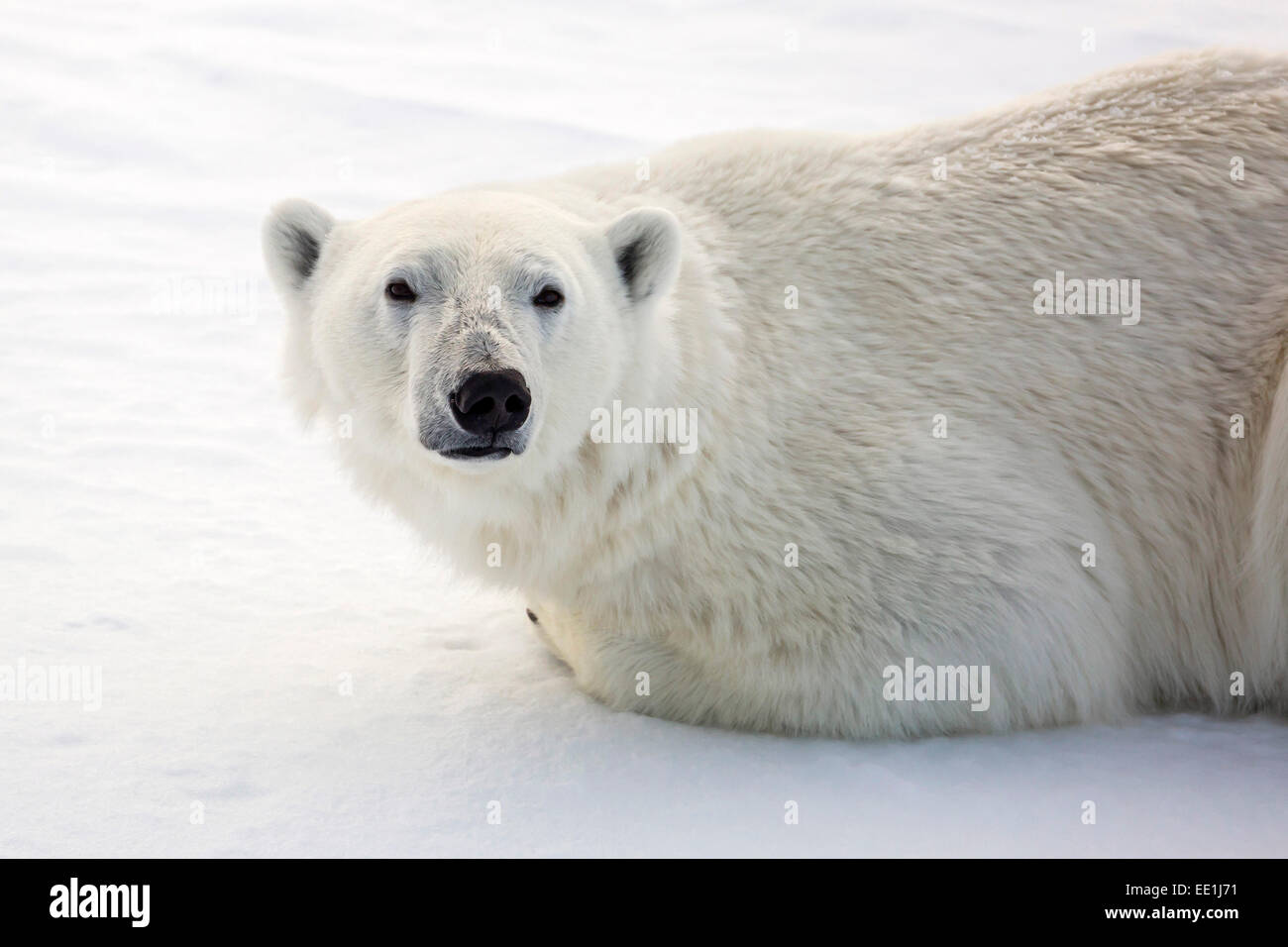 Adult polar bear (Ursus maritimus) on first year sea ice in Olga Strait, near Edgeoya, Svalbard, Arctic, Norway, Stock Photo