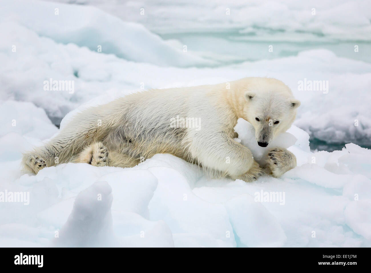 Adult polar bear (Ursus maritimus) stretching on first year sea ice in Olga Strait, near Edgeoya, Svalbard, Arctic, Stock Photo