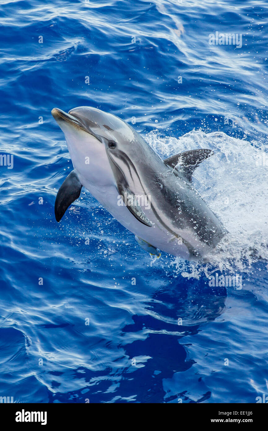 Adult striped dolphin (Stenella coeruleoalba) leaping near La Gomera, Canary Islands, Spain, Atlantic, Europe - Stock Image