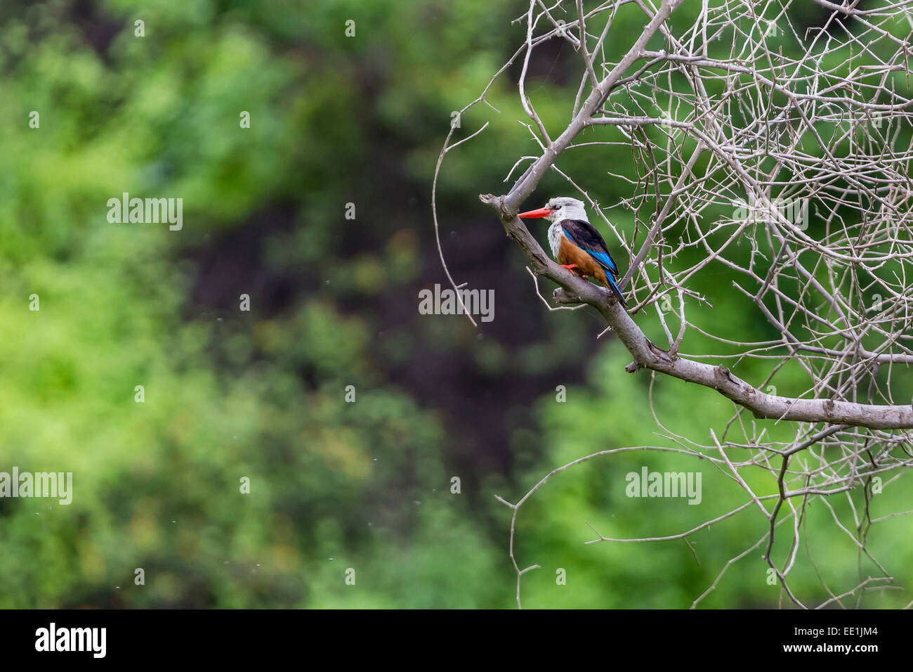 Male grey-headed kingfisher (Halcyon leucocephala) at Curral Grande, Fogo Island, Cape Verde, Africa - Stock Image