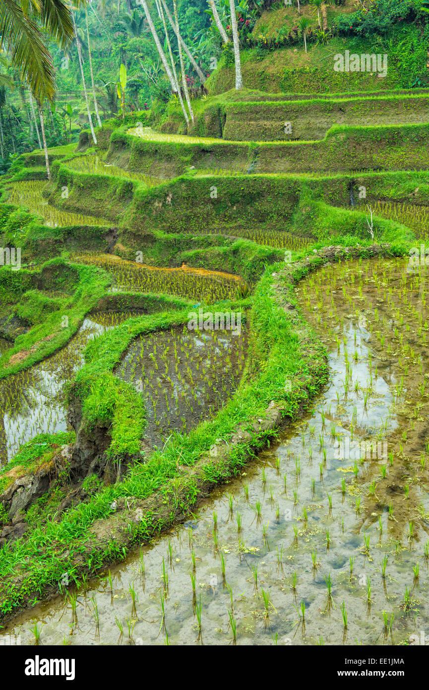Tegallalang rice terraces, Ubud, Bali, Indonesia, Southeast Asia, Asia - Stock Image