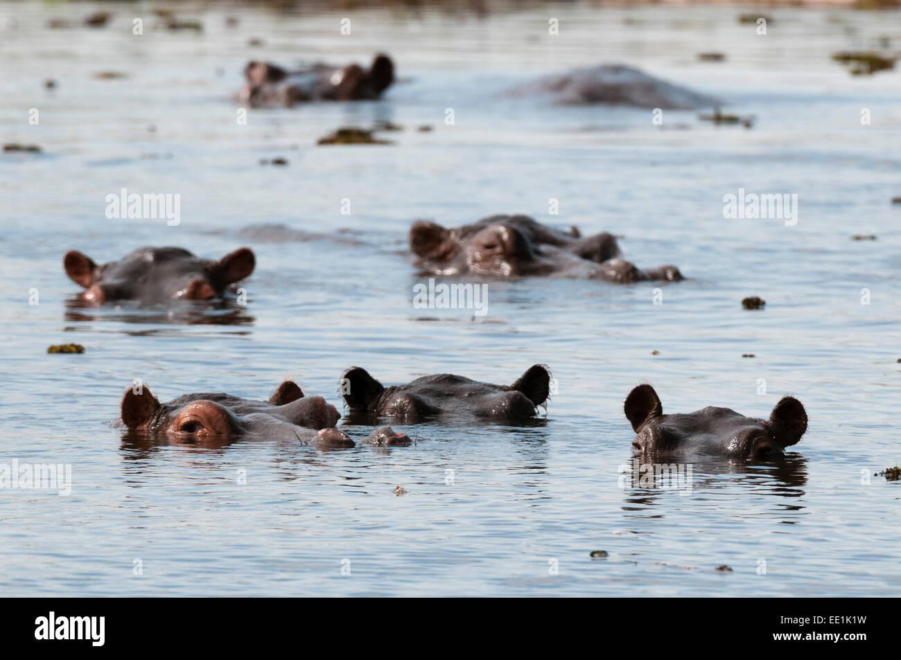 Hippopotamus (Hippopotamus amphibius), Khwai Concession Area, Okavango Delta, Botswana, Africa Stock Photo