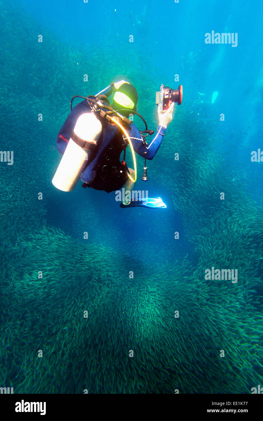 Shoal of sardines and scuba diver, Panagsama Beach, Moalboal, Cubu, The Visayas, Philippines, Southeast Asia, Asia - Stock Image