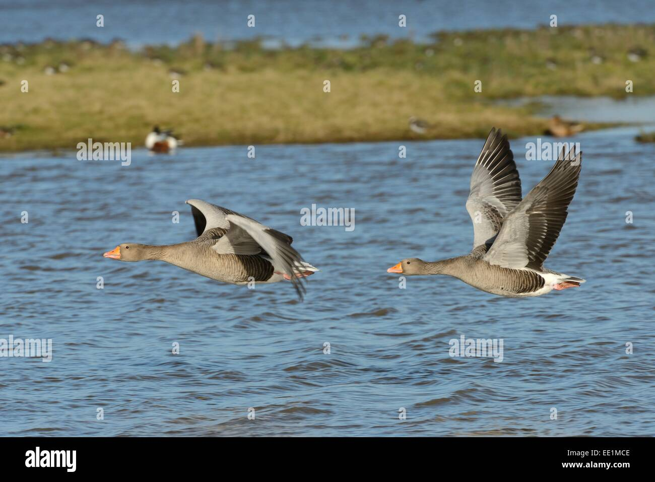 Greylag goose pair (Anser anser) flying over flooded pastureland, Gloucestershire, England, United Kingdom, Europe - Stock Image