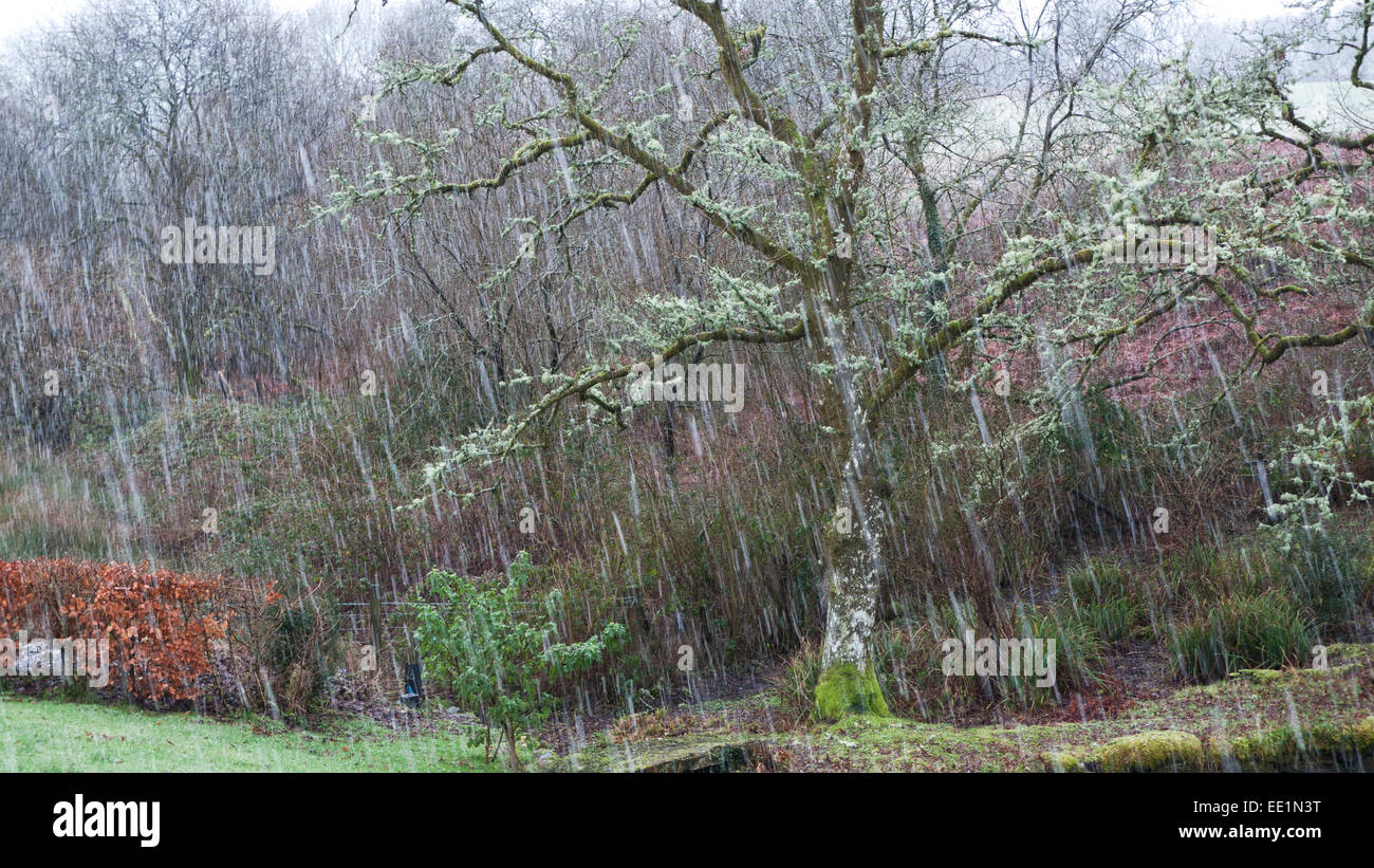 Sleet and icy snow pummel an old oak tree covered in lichen and moss in stormy freezing winter weather in rural - Stock Image