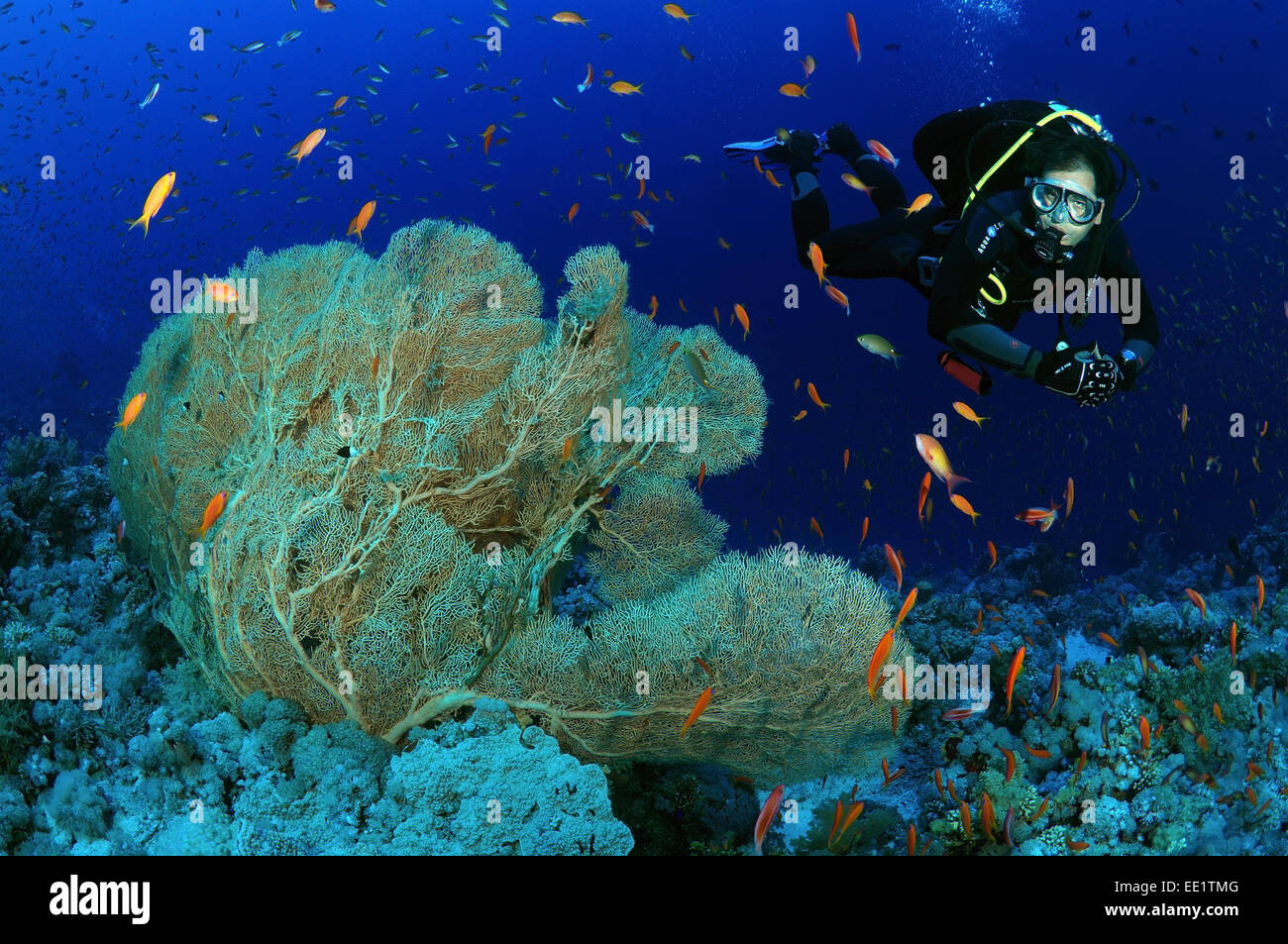 Diver looks at coral purple gorgonian seafan (Gorgonia flabellum) Red sea, Egypt, Africa Stock Photo