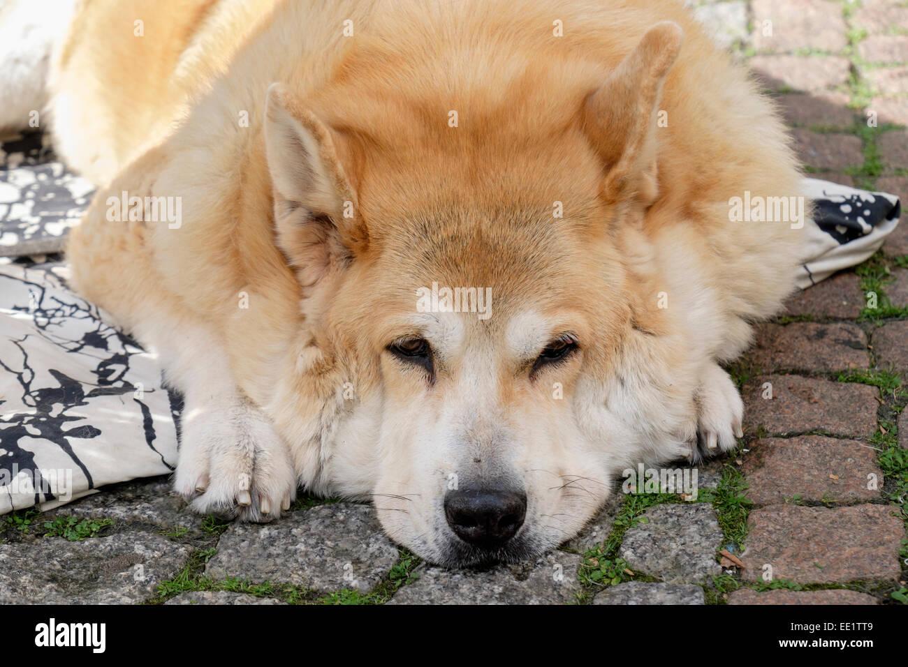 Bored Finnish Spitz Hound Dog dozing on the ground outside. Germany, Europe - Stock Image