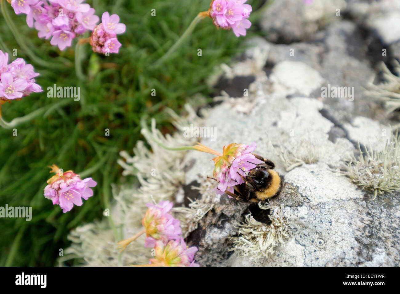 Bumble bee feeding on nectar in Thrift or Sea Pink flower (Armeria maritima) growing by rocks on coast. Outer Hebrides, - Stock Image