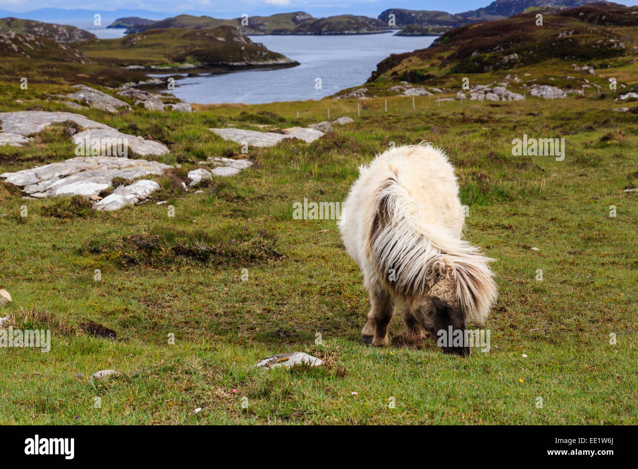 Wild pony grazing on rough moorland grass by Loch Sgioport, South Uist, Outer Hebrides, Western Isles, Scotland, - Stock Image