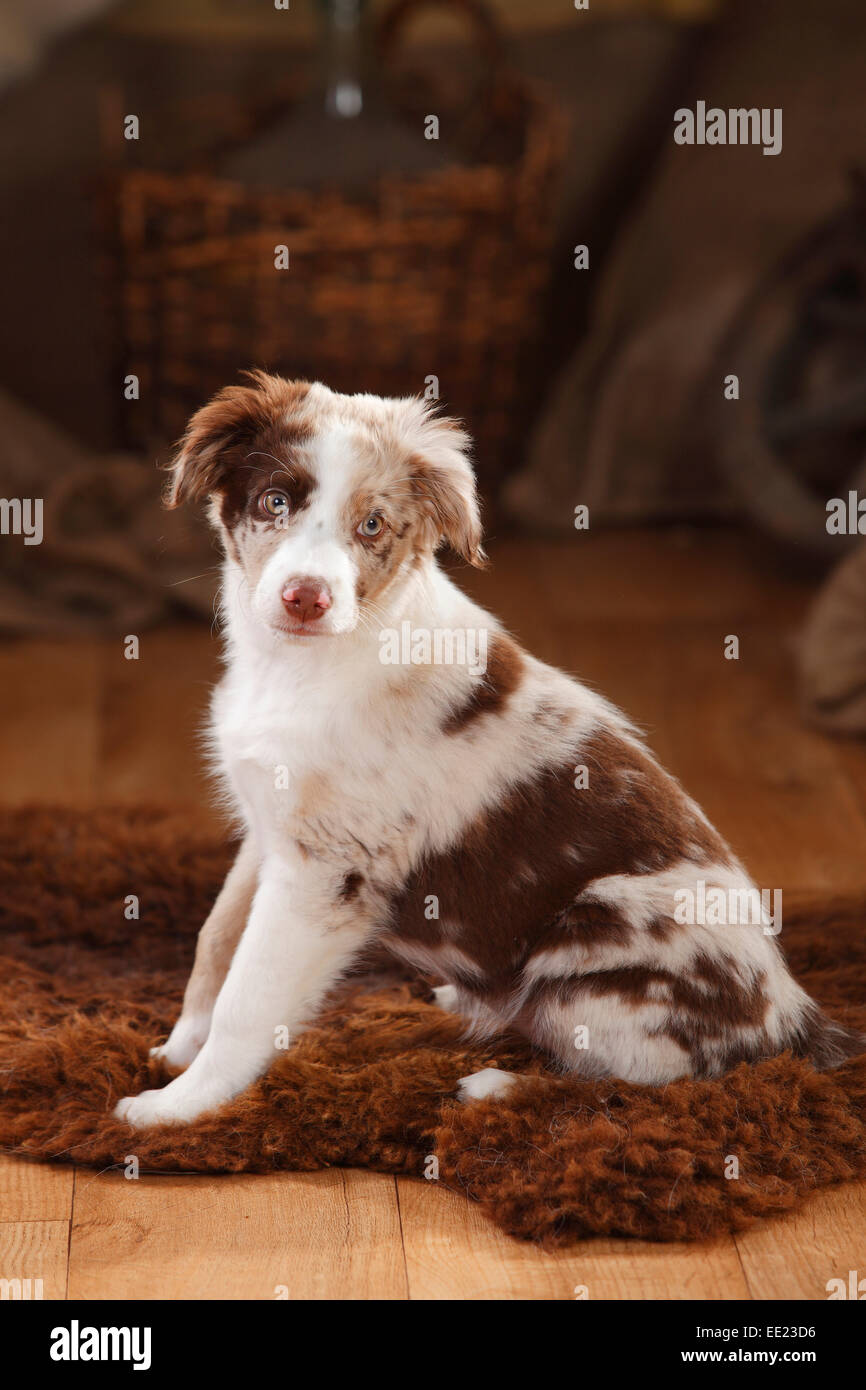 Australian Shepherd, puppy, 12 weeks, red-merle|Australian Shepherd, Welpe, 12 Wochen, red-merle Stock Photo