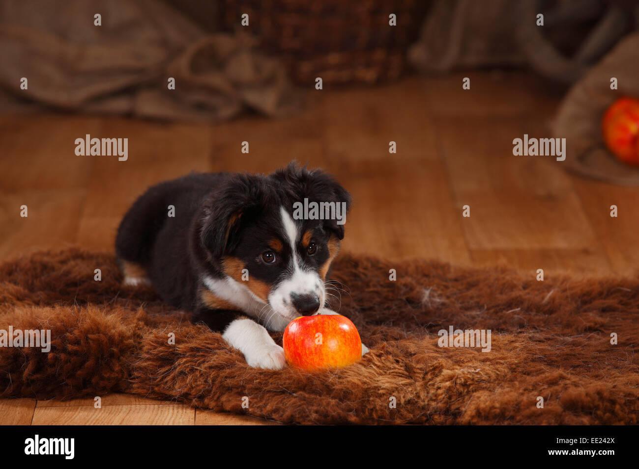 Australian Shepherd, puppy, 12 weeks, black-tri|Australian Shepherd, Welpe, 12 Wochen, black-tri - Stock Image