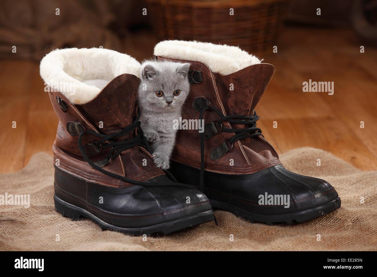 British Shorthair Cat, kitten, blue, 8 weeks Britisch Kurzhaar, Kaetzchen, blue, 8 Wochen - Stock Image