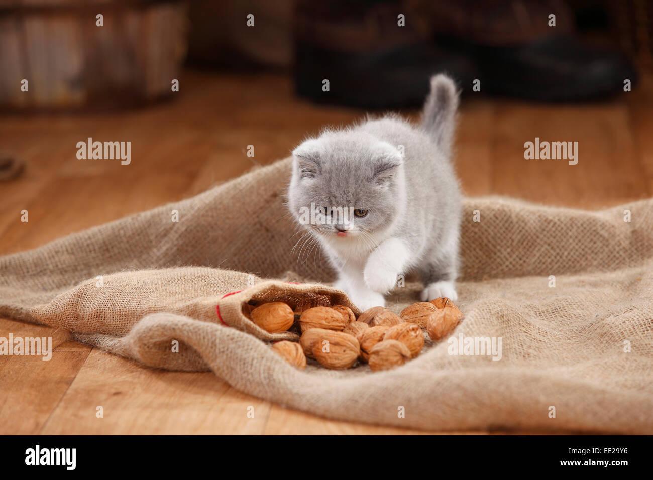British Shorthair Cat, kitten, blue-white, 8 weeks Britisch Kurzhaar, Kaetzchen, blue-white, 8 Wochen / blau-weiss - Stock Image