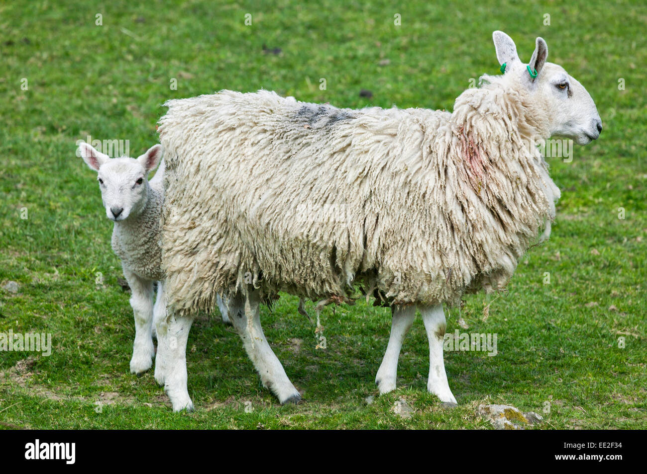 EWE WITH A YOUNG LAMB IN EARLY SPRINGTIME - Stock Image