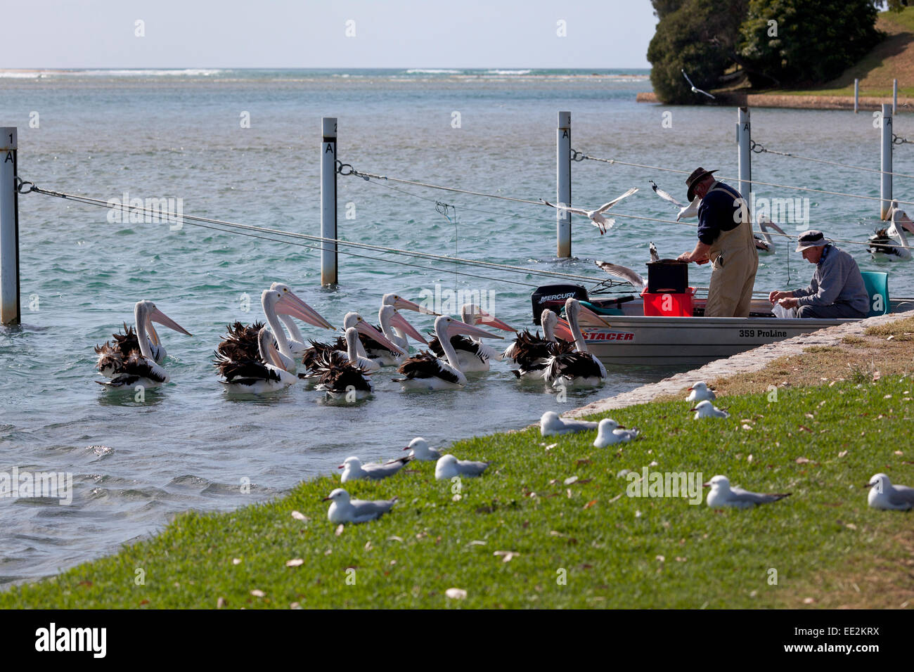 Pelicans in Mallacoota Inlet watching fishermen cleaning fish in Gippsland, victoria, Australia - Stock Image