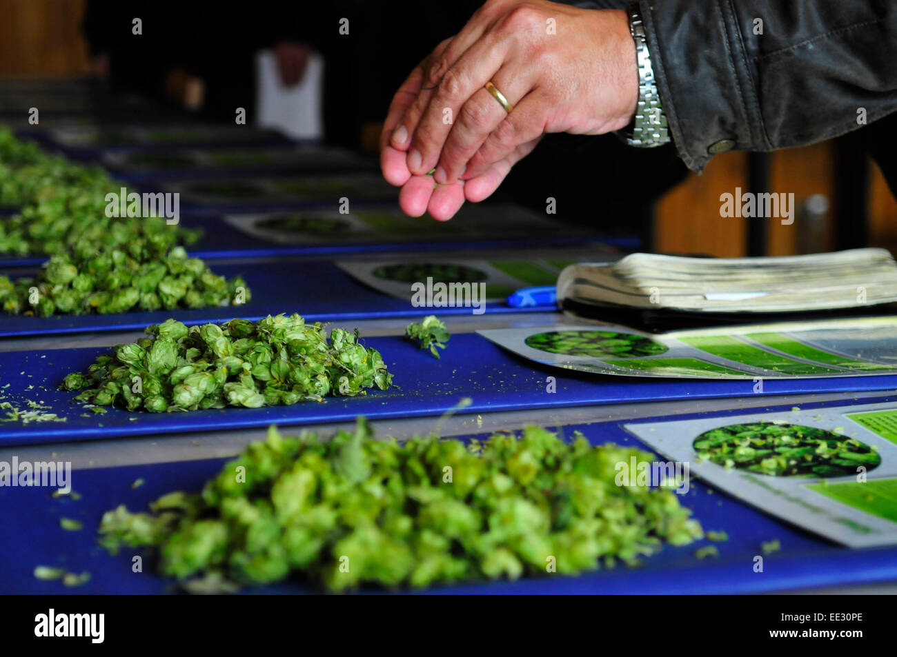 Man Holding Hops in the Czech Republic - Stock Image