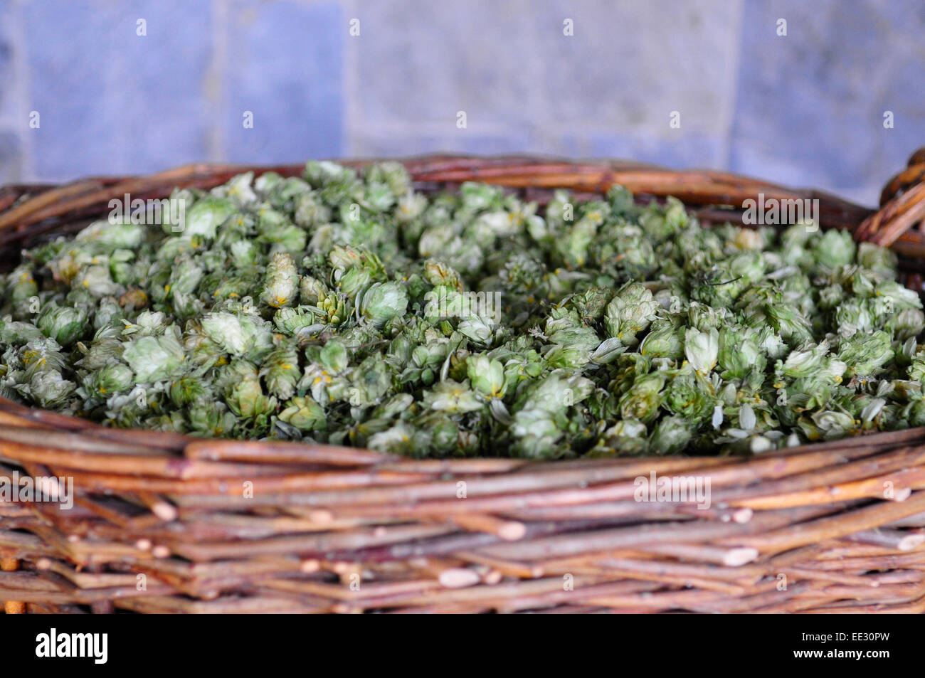 A Basket of Hops in the Czech Republic - Stock Image