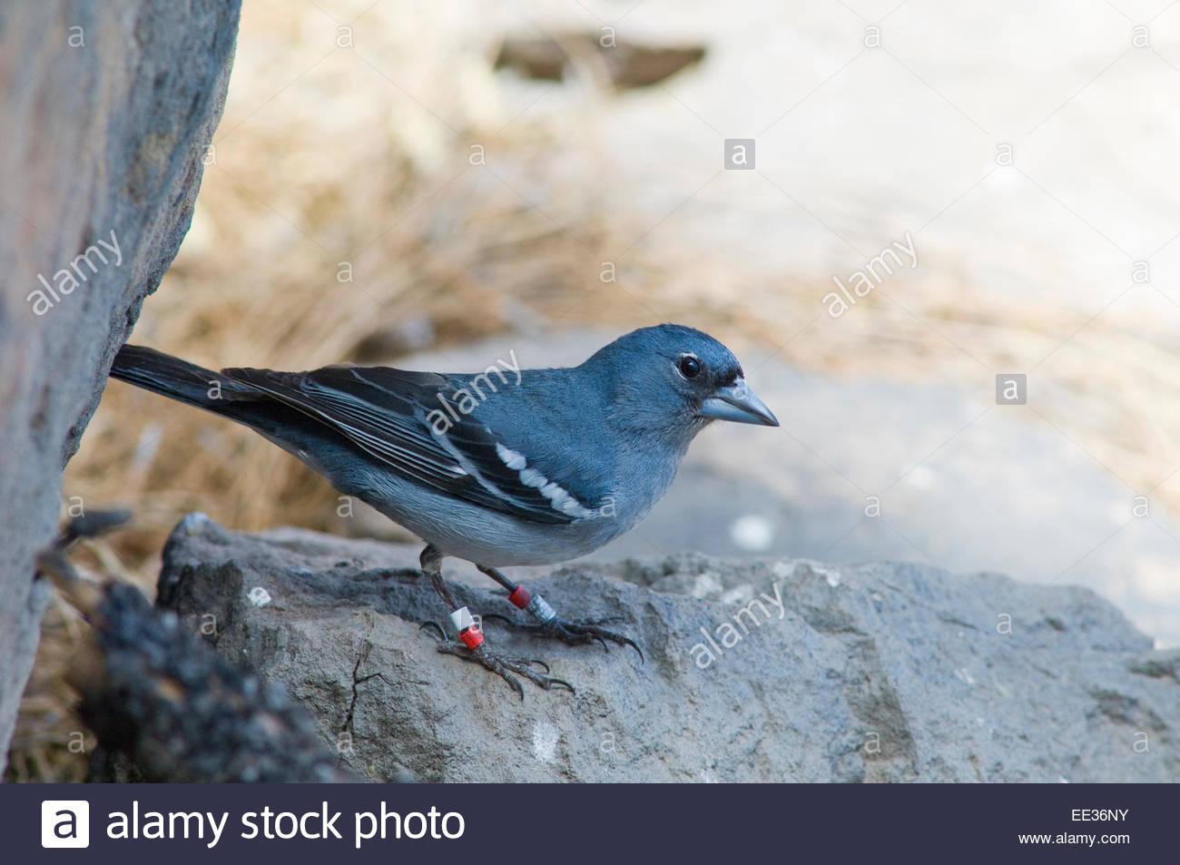 Gran Canaria blue chaffinch (Fringilla teydea polatzeki). Adult male. Stock Photo