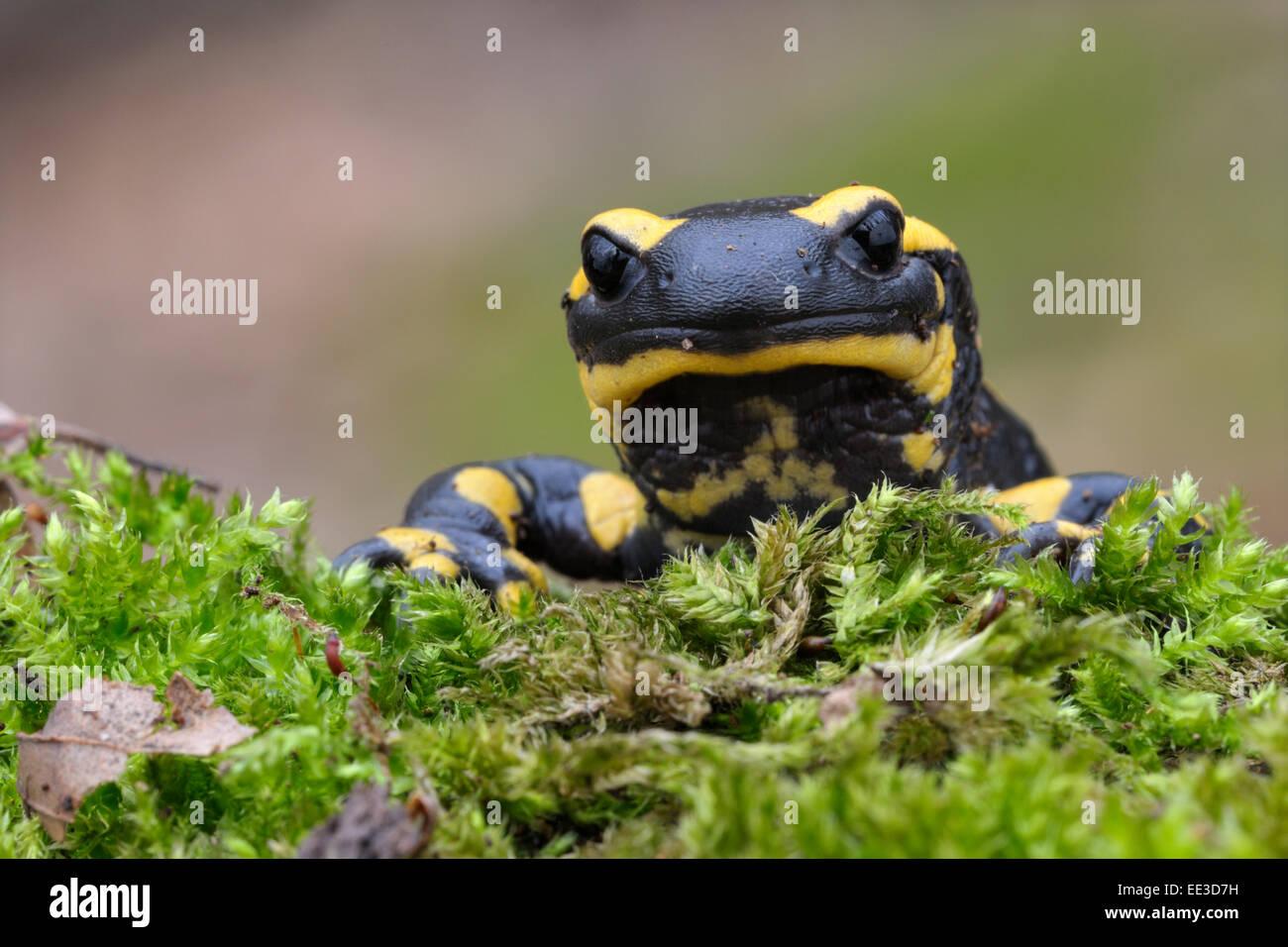 fire salamander [Salamandra salamandra] feuersalamander germany - Stock Image