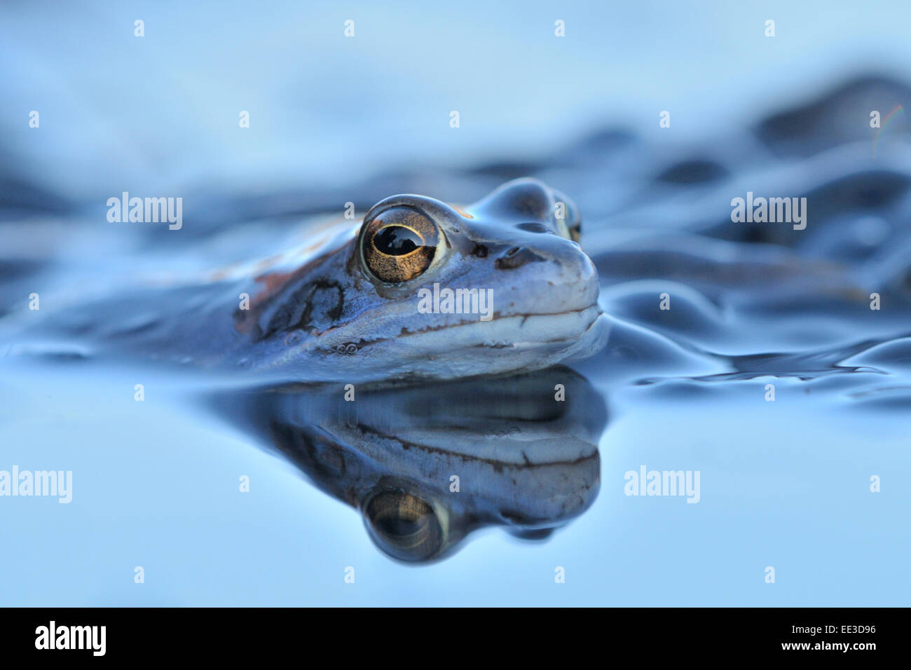moor frog [Rana arvalis] Moorfrosch germany - Stock Image