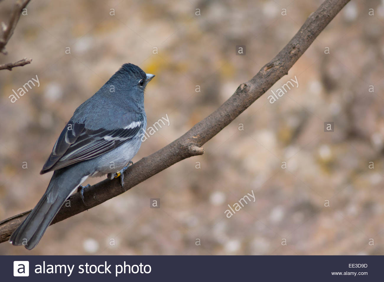 Gran Canaria blue chaffinch (Fringilla teydea polatzeki) sitting on a branch. Adult male. Stock Photo