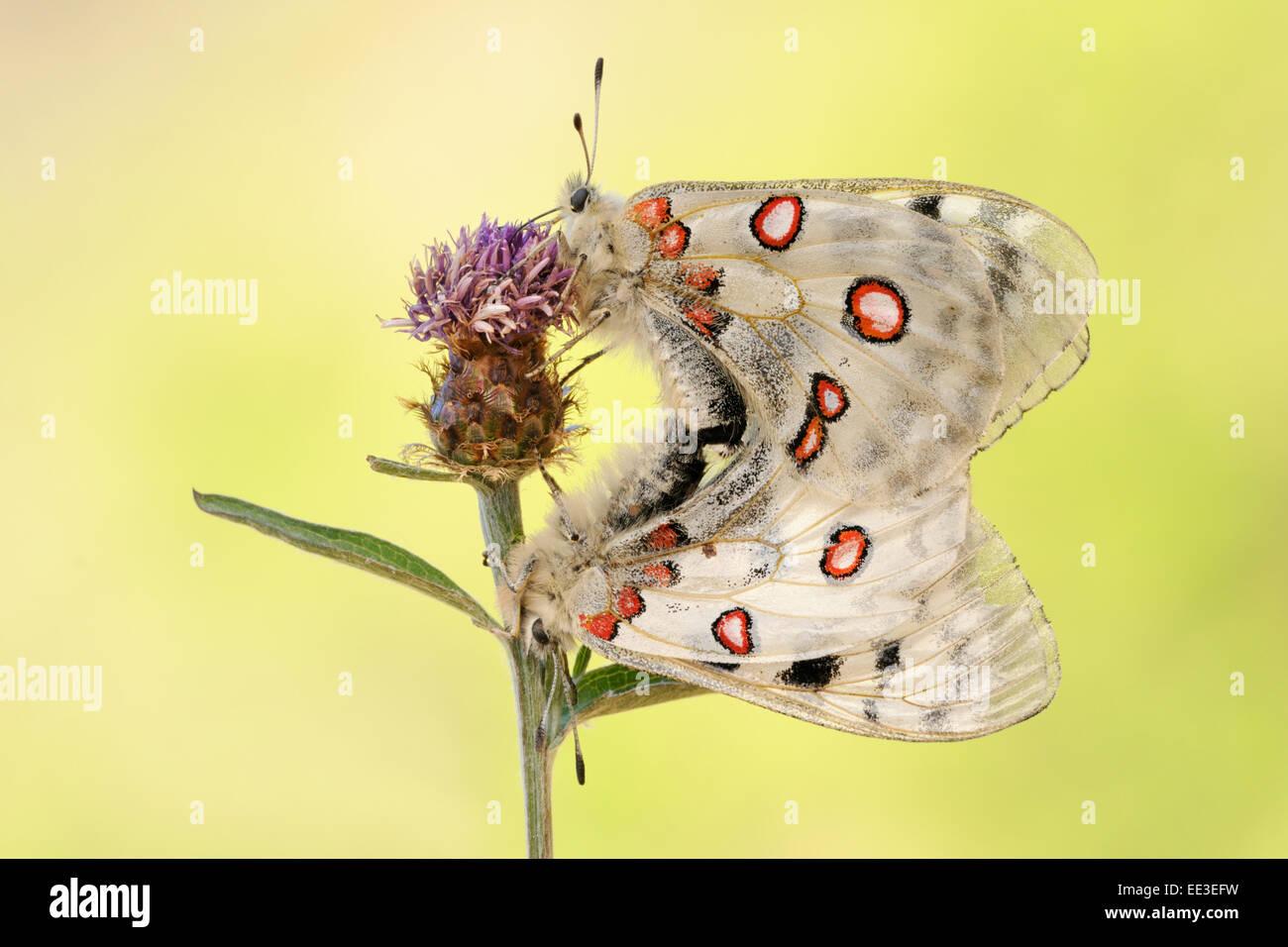 mountain Apollo [Parnassius apollo] apollofalter germany - Stock Image