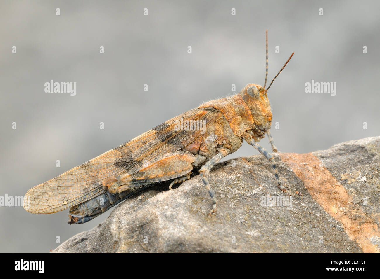 blue-winged grasshopper [Oedipoda caerulescens], germany Stock Photo