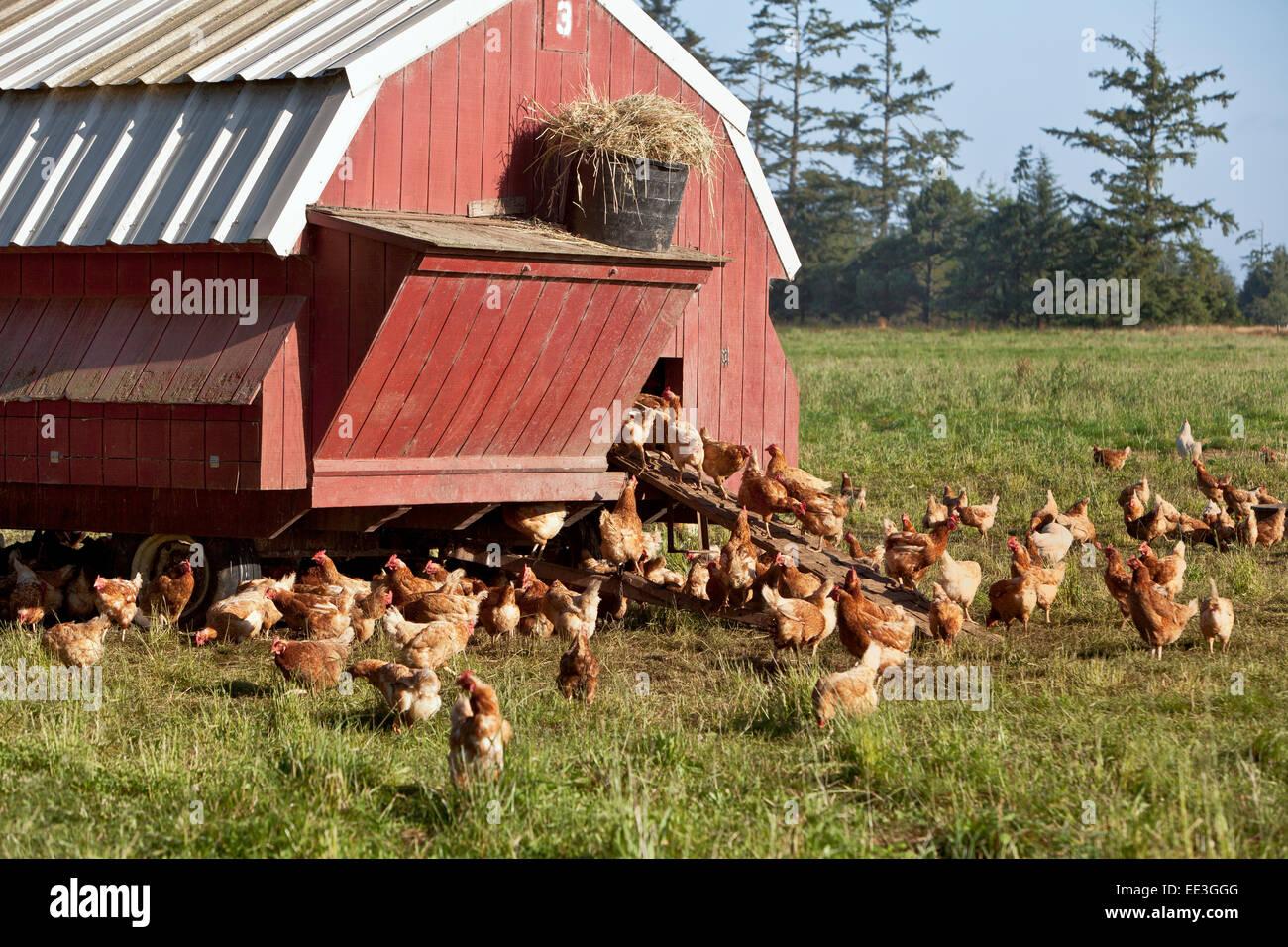 Free Range chickens, portable housing, free range,  'Gallus domesticus'. - Stock Image