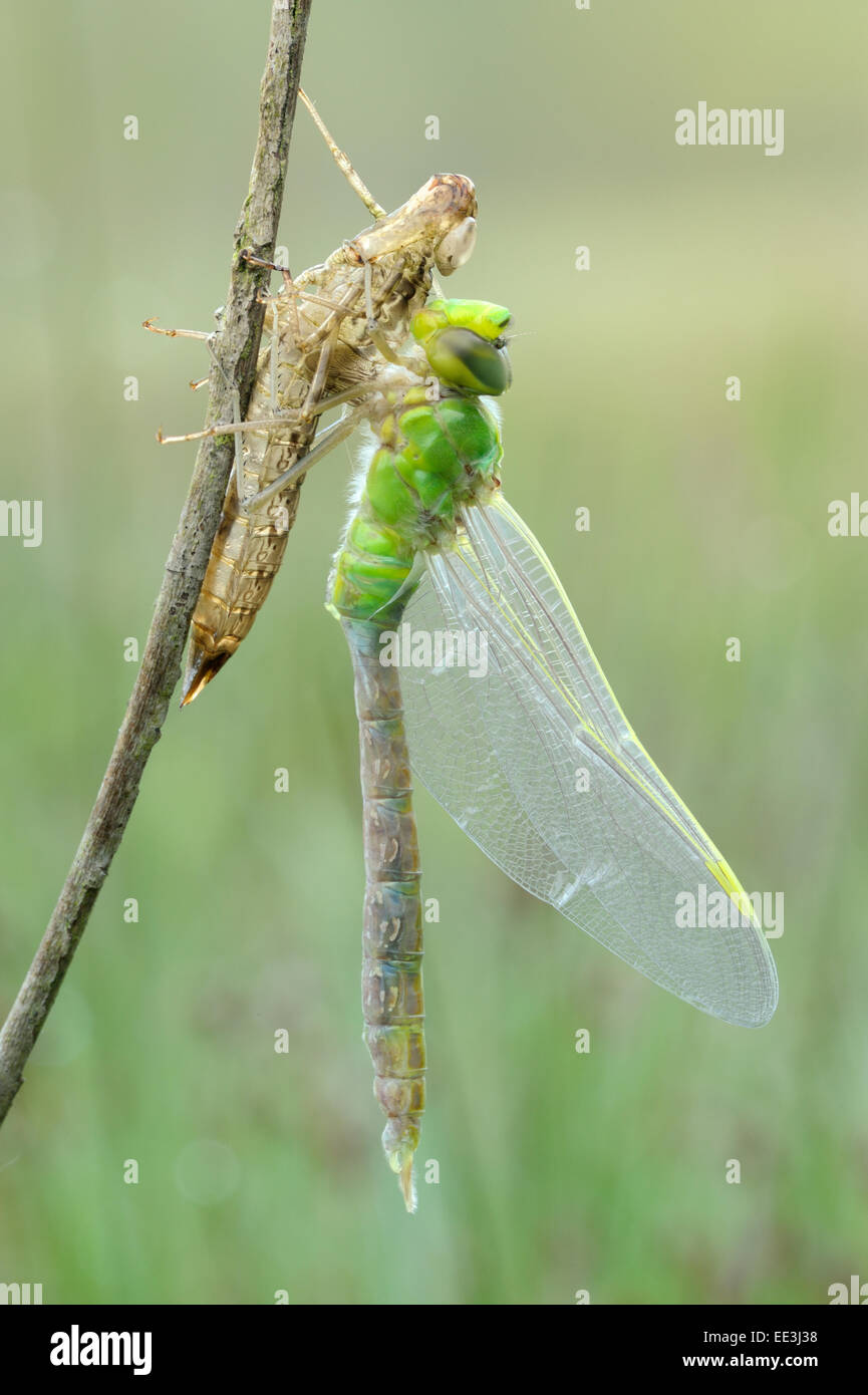 blue emperor [Anax imperator], Große Königslibelle Germany Stock Photo