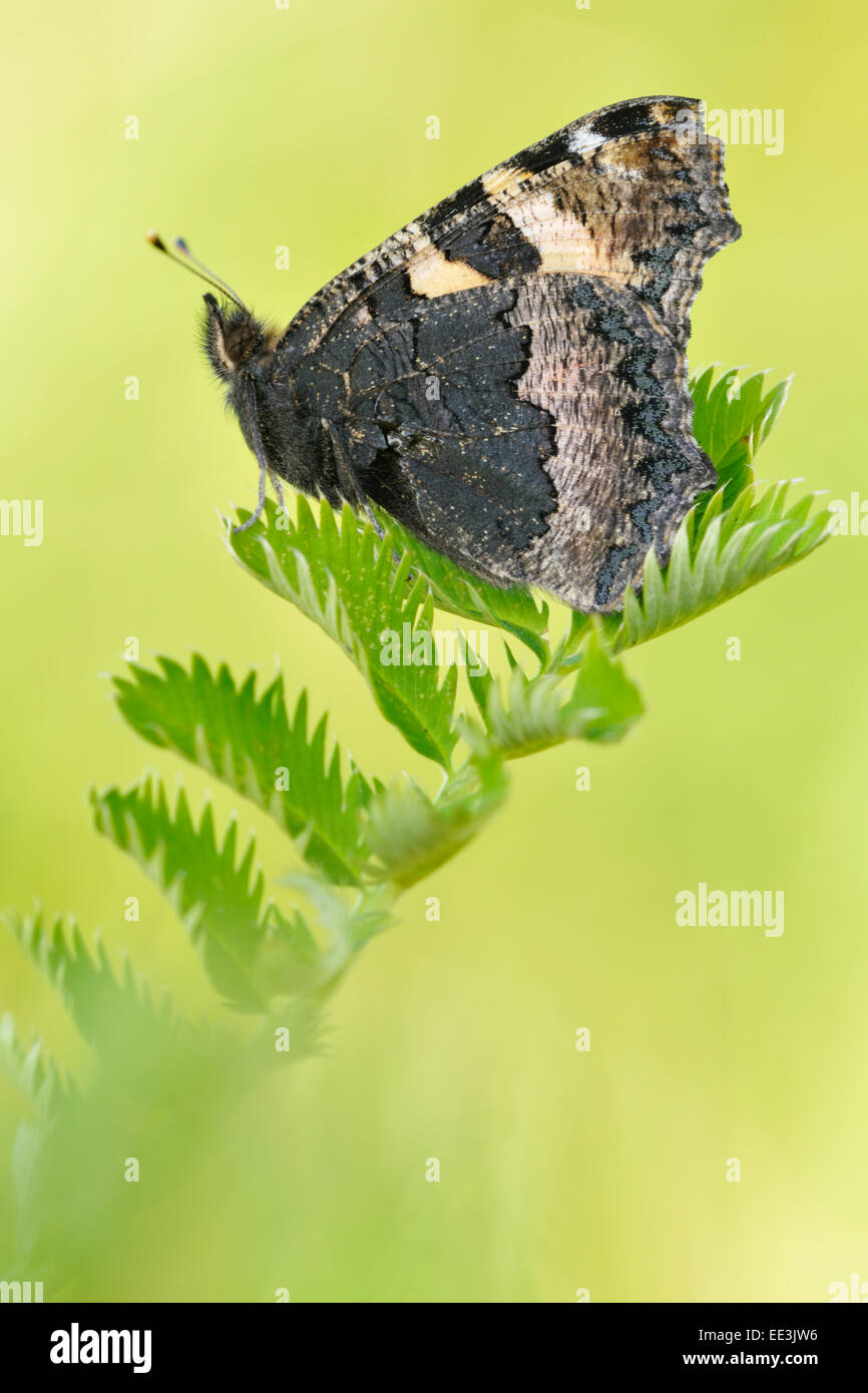 small tortoiseshell (butterfly) [Aglais urticae, syn. Nymphalis urticae], Kleiner Fuchs, Germany - Stock Image