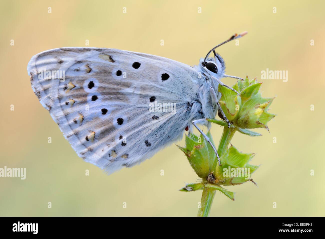 Silbergrüner Bläuling chalkhill blue [Polyommatus coridon] [butterfly] - Stock Image