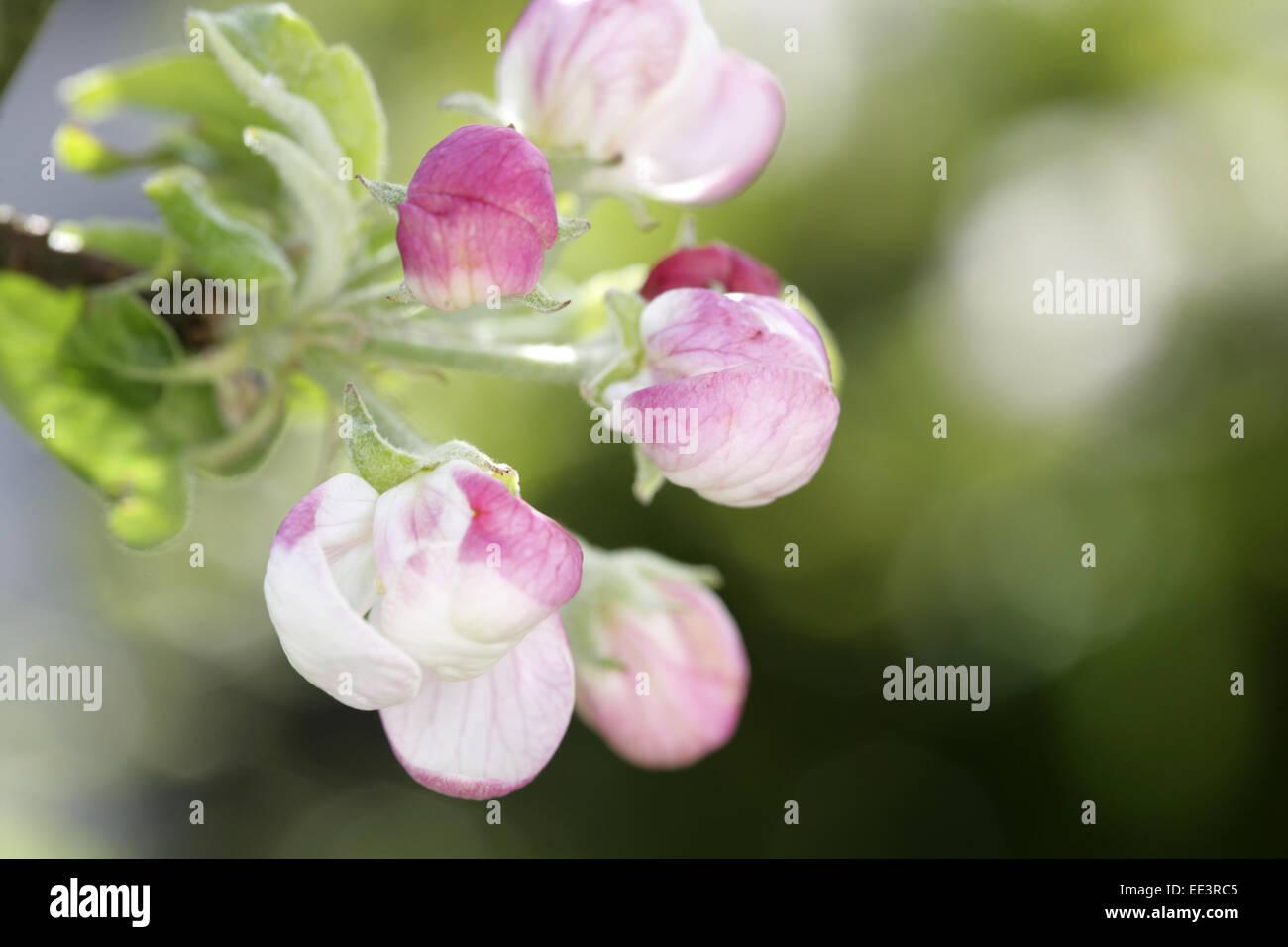 Apfelbaum, Zweig, Detail, Blueten, weiss-rosa, Baum, Rosengewaechs, Obstbaum, Malus spec, Apfelbluete, Obstbaumbluete, - Stock Image
