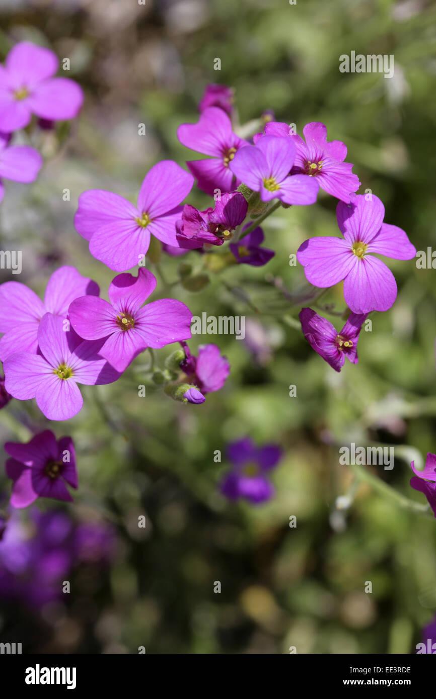 Blaukissen, Detail, Blueten, violett, Natur, Vegetation, Botanik, Pflanze, Garten, Steingarten, Aubrieta-Hybride, - Stock Image