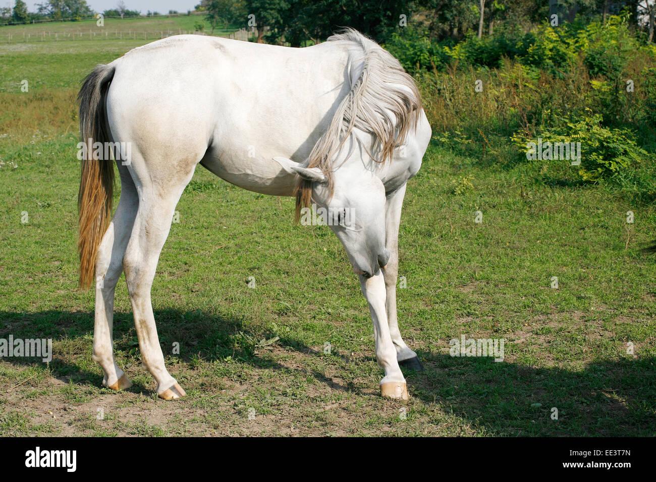 Gray Young Arabian Stallion Grazing In The Field Beautiful Arabian Stock Photo Alamy