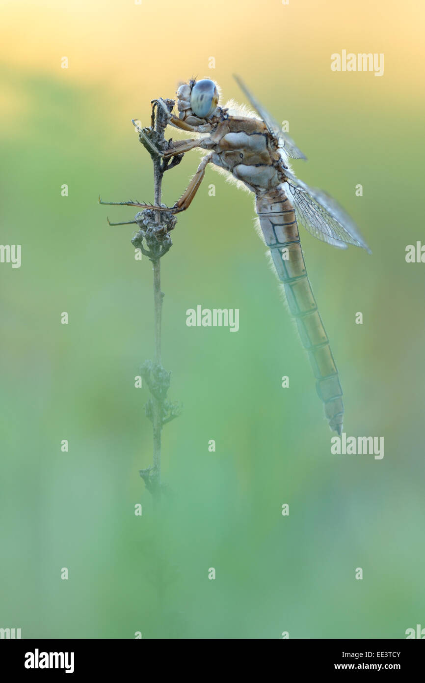 southern skimmer [Orthetrum brunneum] Südlicher Blaupfeil  Germany Stock Photo