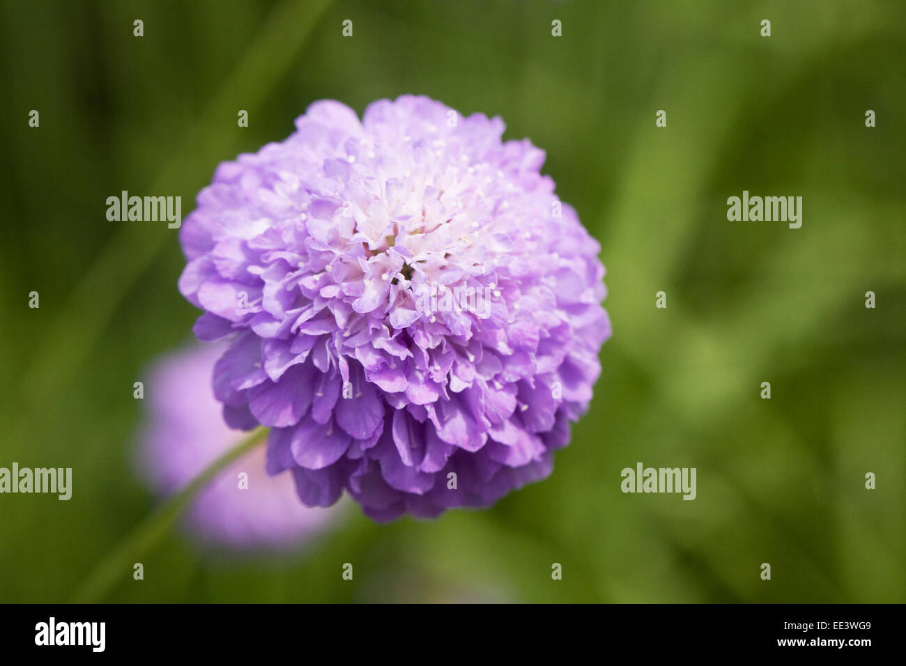 Scabiosa 'Oxford Blue'. Scabious flower close up. - Stock Image
