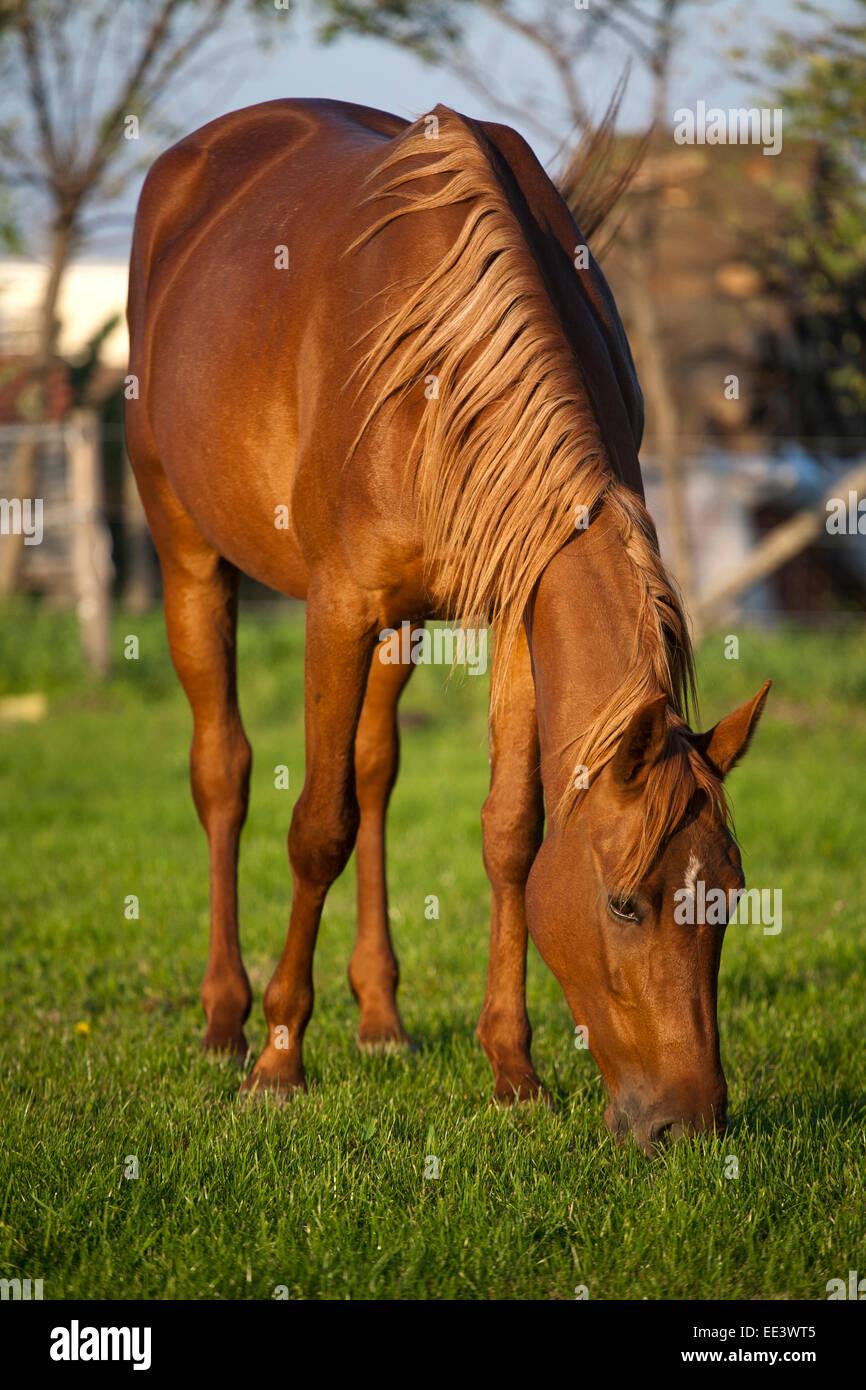 Beautiful gidran breed mare grazing in summer pasture Stock Photo