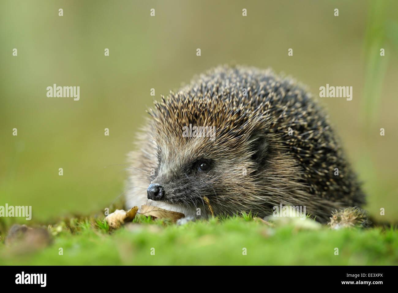 hedgehog [Erinaceus europaeus] Stock Photo