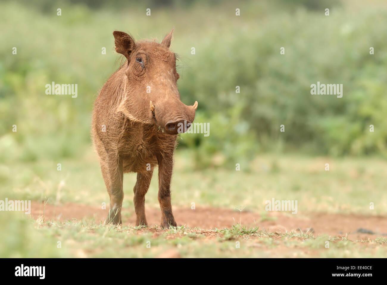 warthog [Phacochoerus africanus] - Stock Image